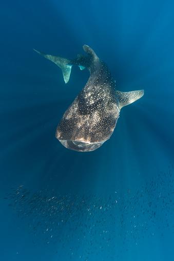 ジンベイザメ「Whale shark and school of small fish, Cenderawasih Bay, Papua, Indonesia」:スマホ壁紙(1)