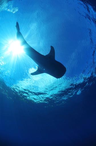 ジンベイザメ「Whale shark near surface with sun rays, Christmas Island, Australia.」:スマホ壁紙(3)