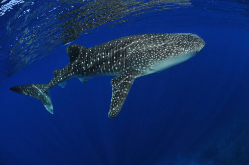 ジンベイザメ「Whale shark near surface with sun rays, Christmas Island, Australia.」:スマホ壁紙(7)