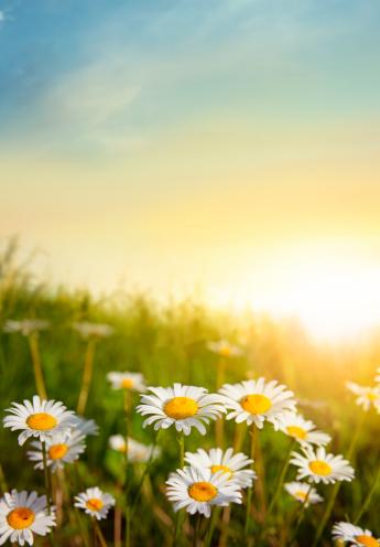 Marguerite - Daisy「Flowering Meadow in Sunset Light」:スマホ壁紙(11)