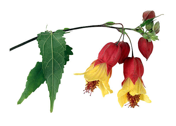 Flowering maple blooms:スマホ壁紙(壁紙.com)