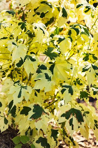 Flowering Maple「Flowering Maple. Abutilon 'Savitzii'」:スマホ壁紙(3)