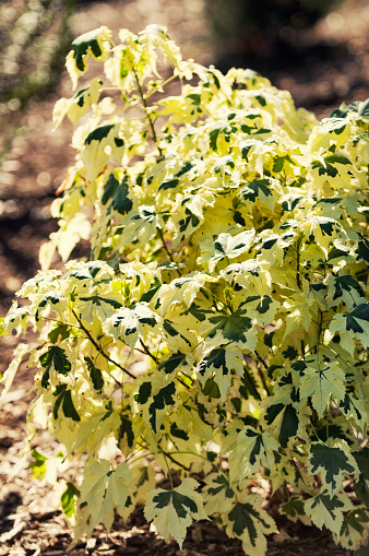 Flowering Maple「Flowering Maple. Abutilon 'Savitzii'」:スマホ壁紙(4)