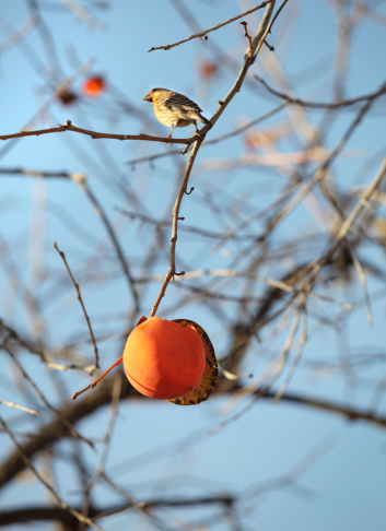 柿「鳥&許可」:スマホ壁紙(18)