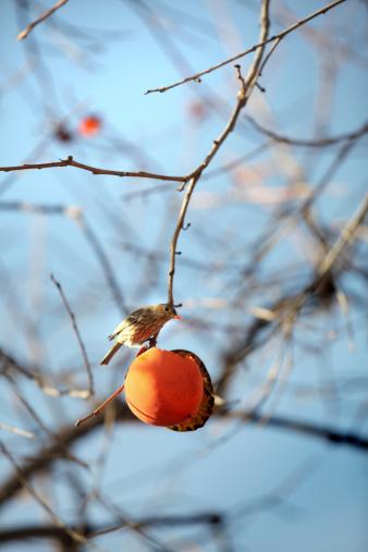 柿の木「鳥&許可」:スマホ壁紙(7)