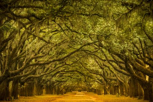 Oak Woodland「Oak tree road path through the forest」:スマホ壁紙(3)