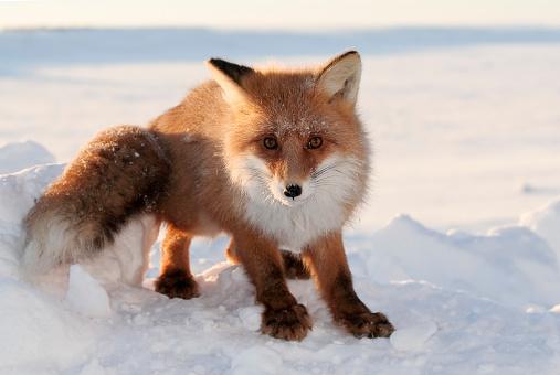 Snowdrift「Foxy Look.」:スマホ壁紙(17)