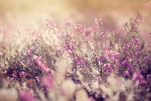 春「ヘザーの草地に日の出」:スマホ壁紙(7)