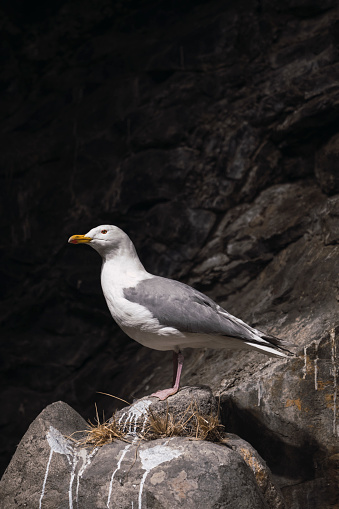 Herring Gull「Norway, Lapland, Seagull resting on a rock」:スマホ壁紙(15)