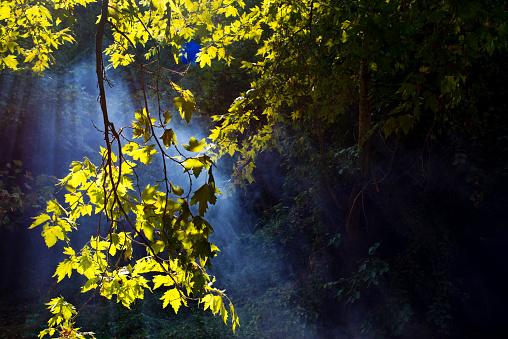 セイヨウカジカエデ「太陽光線の森」:スマホ壁紙(6)