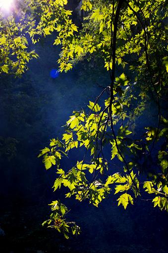 セイヨウカジカエデ「太陽光線の森」:スマホ壁紙(0)