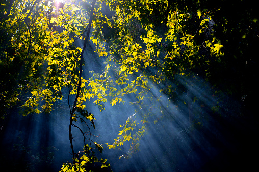 セイヨウカジカエデ「太陽光線の森」:スマホ壁紙(8)