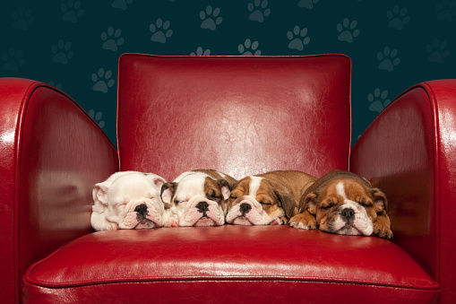 Carefree「Four puppies asleep on red armchair」:スマホ壁紙(8)