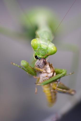 Animals Hunting「Praying Mantis Eating Cricket」:スマホ壁紙(18)