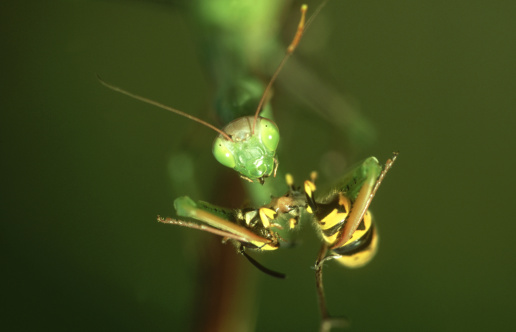 Animals Hunting「praying mantis, mantis religiosa, feeding on wasp, germany」:スマホ壁紙(16)