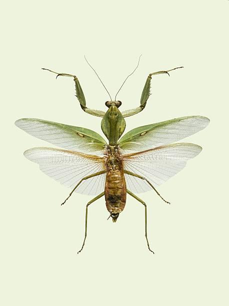 Praying Mantis.:スマホ壁紙(壁紙.com)