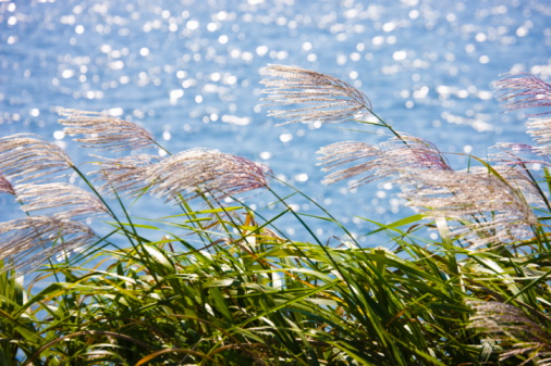 Japanese pampas grass「Lakeside pampas grass. Omihachiman, Shiga Prefecture, Japan」:スマホ壁紙(11)