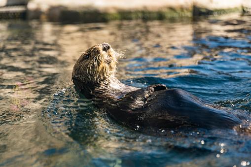 Monterey Bay「River Otter Eating on Back」:スマホ壁紙(8)