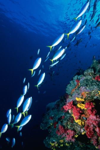 Ecosystem「Yellowback fusiliers (Caesio teres) swimming past coral, Australia」:スマホ壁紙(4)