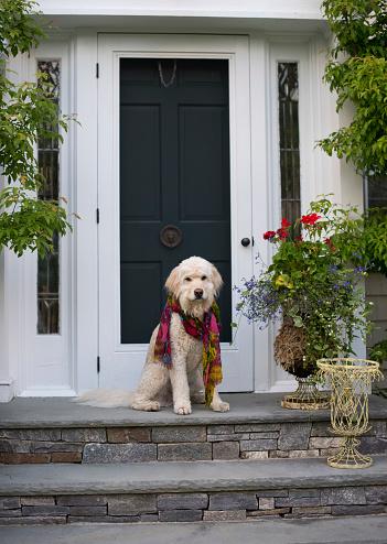 Waiting「Goldendoodle dog sitting on top step at front door of house」:スマホ壁紙(11)