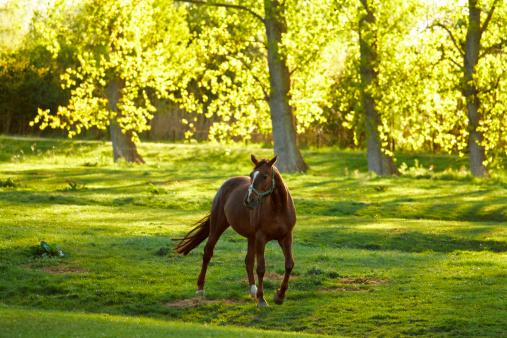 Stallion「grazing horses in the evening sun」:スマホ壁紙(17)