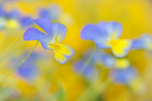 Keukenhof Gardens「Pansy blue yellow, close up.」:スマホ壁紙(4)