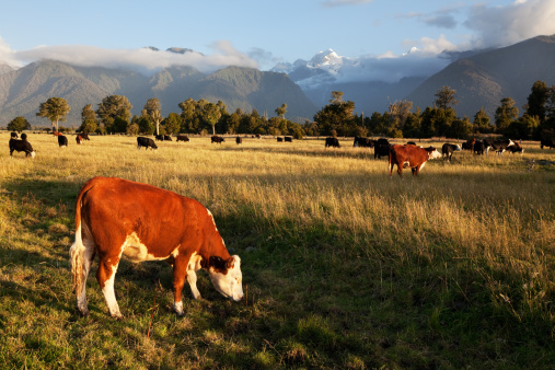 Westland - South Island New Zealand「Picturesque Landscape with Cattle in New Zealand」:スマホ壁紙(2)