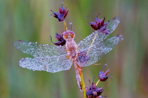 Dragonfly「Female Dewy White-faced Meadow hawk Dragonfly (Sympetrum obtrusum)  Michigan, USA」:スマホ壁紙(17)
