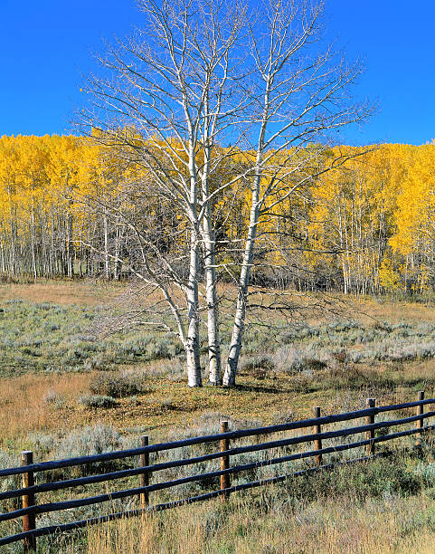 Aspens with golden autumn leaves behind stock pen fence. Dallas Divide, Uncompahgre National Forest, Colorado.:スマホ壁紙(壁紙.com)