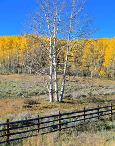 Uncompahgre National Forest「Aspens with golden autumn leaves behind stock pen fence. Dallas Divide, Uncompahgre National Forest, Colorado.」:スマホ壁紙(8)