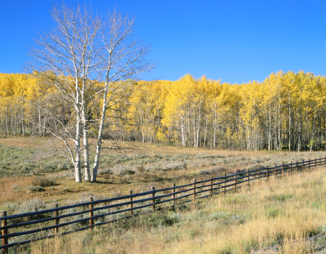 Uncompahgre National Forest「Aspens with golden autumn leaves behind stock pen fence. Dallas Divide, Uncompahgre National Forest, Colorado.」:スマホ壁紙(11)
