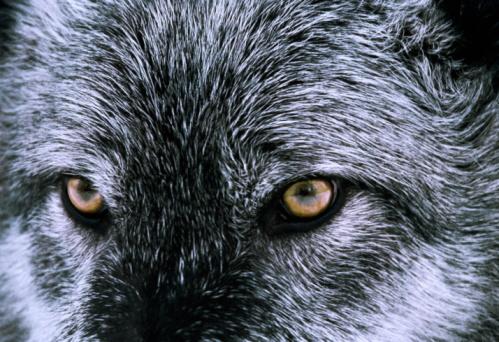 Animal Eye「Grey (or Timber) wolf (Canis lupus), head shot, close-up」:スマホ壁紙(10)