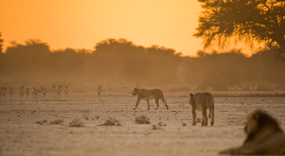 Animals Hunting「Two lionesses stalking antelope, South Africa」:スマホ壁紙(1)