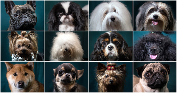 Composite Image「Crufts 2017 - Portraits Of Man's Best Friend」:写真・画像(9)[壁紙.com]