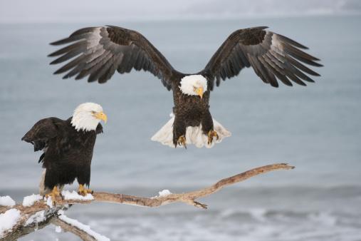 Spread Wings「Bald Eagles」:スマホ壁紙(13)