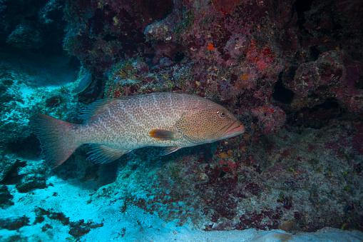ケイマン諸島「Tiger grouper swimming along the bottom of a cavern.」:スマホ壁紙(19)