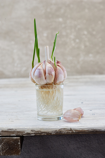 Garlic Clove「rooting garlic cloves stage 2 larger root growthand young sprouts」:スマホ壁紙(4)