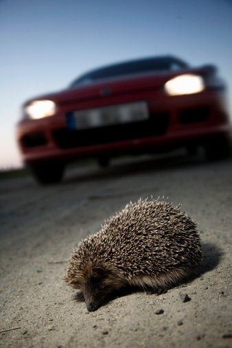 ハリネズミ「European hedgehog, erinaceus europaeus, crossing r」:スマホ壁紙(1)