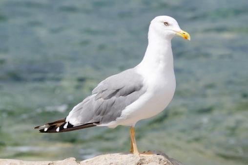 Herring Gull「European Herring Gull」:スマホ壁紙(16)
