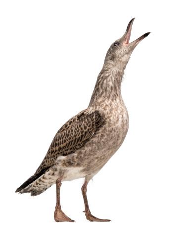 Herring Gull「European Herring Gull looking up」:スマホ壁紙(10)