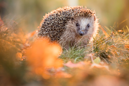 Animal Wildlife「European hedgehog」:スマホ壁紙(2)