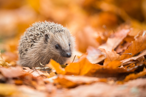 Animals In The Wild「European hedgehog (Erinaceus europaeus)」:スマホ壁紙(4)