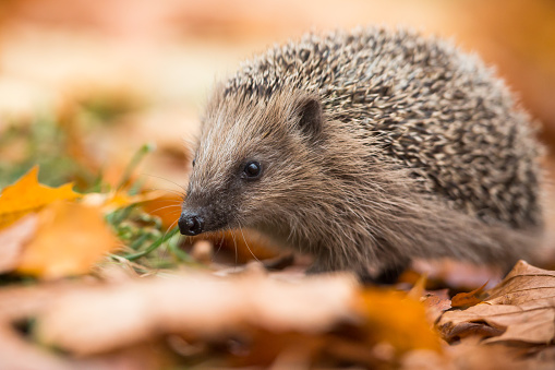 Hedgehog「European hedgehog (Erinaceus europaeus)」:スマホ壁紙(3)