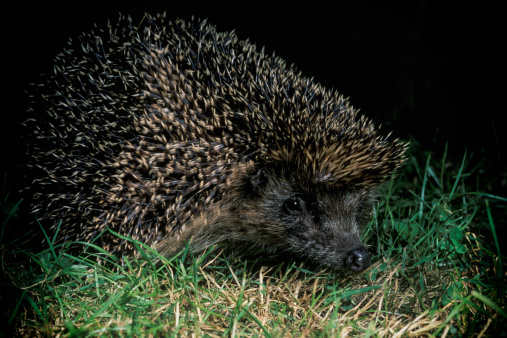 Hedgehog「European hedgehog at night」:スマホ壁紙(6)