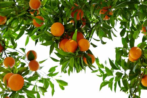 Grove「Orange Tree」:スマホ壁紙(12)