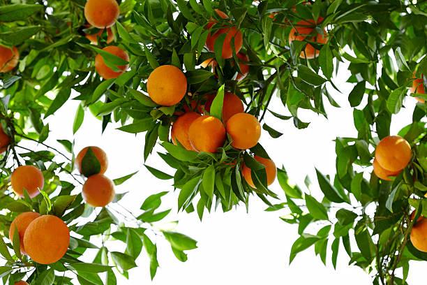 Orange Tree:スマホ壁紙(壁紙.com)
