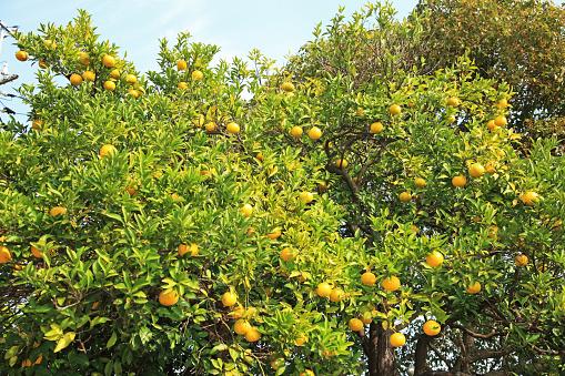 Japan「Orange trees at Senko-ji Park, Onomichi, Hiroshima, Japan」:スマホ壁紙(9)
