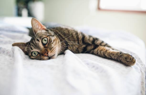 Tabby cat relaxing on bed:スマホ壁紙(壁紙.com)