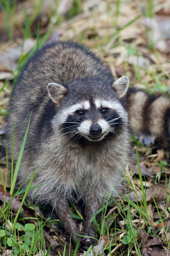 Raccoon「Raccoon ( Procyon lotor) foraging in grass」:スマホ壁紙(11)