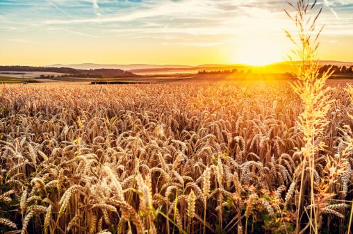 Back Lit「Sunny evening grainfield」:スマホ壁紙(12)